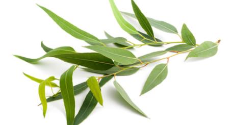 Menopause Eucalyptus